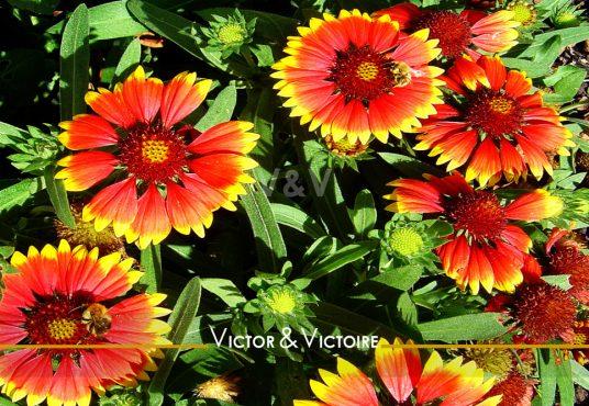 fleurs rouge bordées de jaune que butinent des abeilles Studio Nantes centre Agence immobilière Victor & Victoire Real estate agency
