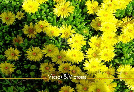 Nantes quartier Procé Studio plante grasse tapis de fleurs jaune Agence immobilière Victor & Victoire Real estate agency