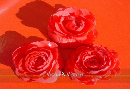 trois fleurs de camélia rouge sur fond rouge Paris 18ème Maison T5 Agence immobilière Victor & Victoire Real estate agency
