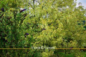feuillage vert tendre arbre à papillons Agence immobilière Victor & Victoire Real estate agency
